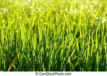 zöld fű, és, light.