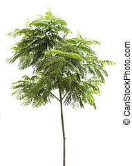 zöld fa, elszigetelt, képben látható, a, white háttér