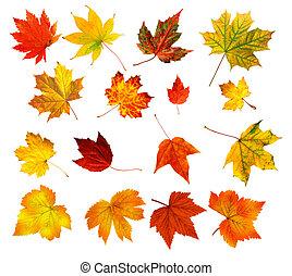 zöld, háttér, elszigetelt, gyűjtés, nagy, színpompás, ősz, gyönyörű, fehér