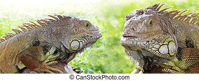 zöld iguana