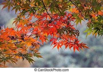 zöld, juharfa, esés, bukás, bitófák, ősz, piros, reggel