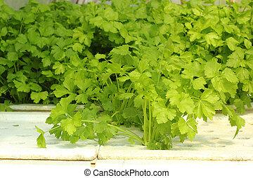 zöld növényi, alatt, hydroponic, tanya