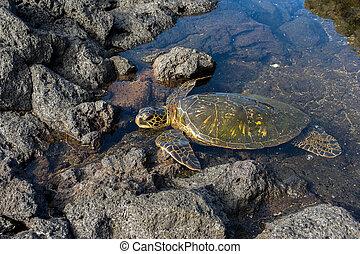 zöld tenger tengeri teknős