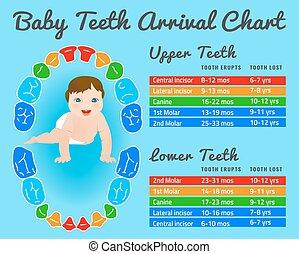 zęby, wektor, infographic