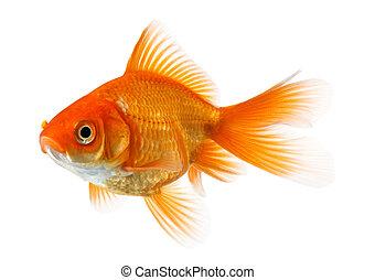 złota rybka, odizolowany, na białym