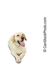 złoty, leżący, labrador, pies