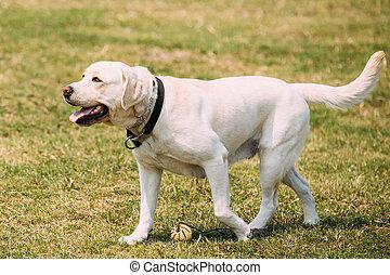 złoty, pieszy, labrador, pies, szczęki, żółty, pełna-długość, uchylony, język