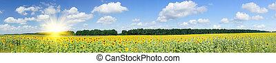 złoty, plantacja, sunflowers.