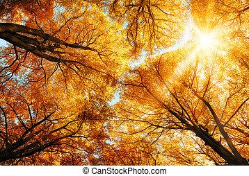 złoty, treetops, słońce, jesień, przez, lustrzany