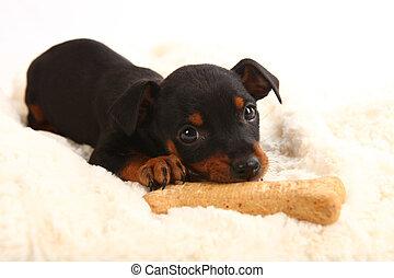 zabawka, pinsher, doberman, pies, miniatura, szczeniak