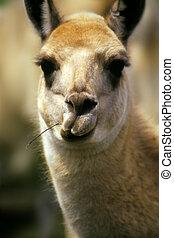 zabawny, lama