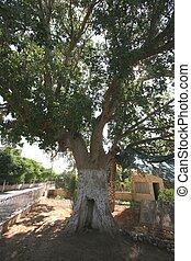 Zaccheus Sycamore Tree in Jericho