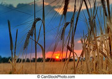 zachód słońca, na, pole, na, summer., kłosie, od, pszenica, słońce, przeciw