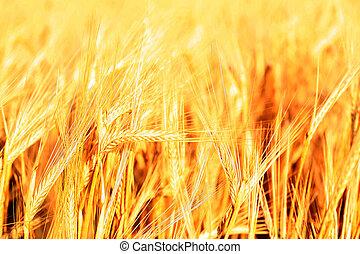 zachód słońca, na, trawa, zielone pole