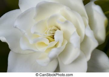 zacht, gardenia