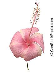 zacht, versuikeren, roze, circulaire, hibiscus, bloem, vrijstaand, met, knippend pad