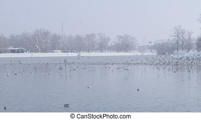 zagreb, jarun lake, winter time - Flock of birds. Location:...