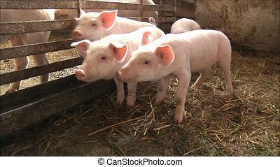 zagroda, świnia