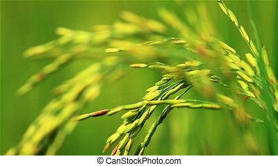 zagroda, ryż