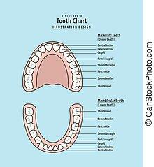 zahn, tabelle, infographic, abbildung, vektor, auf, blaues, hintergrund., dental, concept.