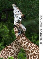zambia, giraffe, afrika, safari