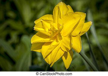 zamknięcie, żółty, do góry, daffodil.