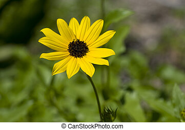zamknięcie, kwiat, do góry, żółty