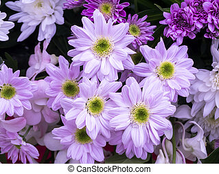 zamknięcie, kwiat, do góry, chryzantema
