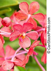 zamknięcie, orchid., do góry, czerwony
