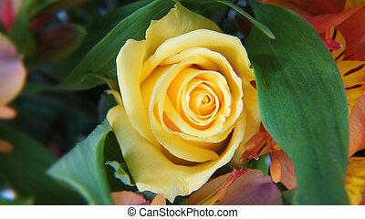 zamknięcie, róża, do góry, żółty, ekwadorski