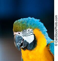 zamknięcie, wizerunek, do góry, papuga