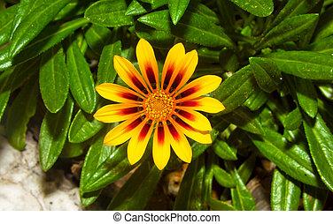 zamknięcie, wizerunek, kwiat, do góry, żółty