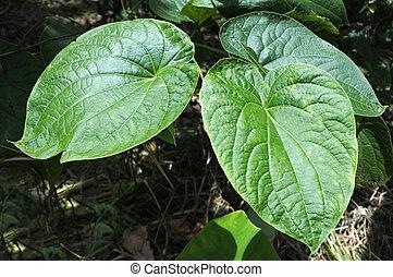 zampognaro, methysticum, pianta, agricoltura, in, figi