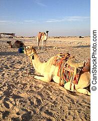 zand, kameel