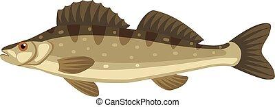 Zander sander lucioperca fish - Zander sander lucioperca...