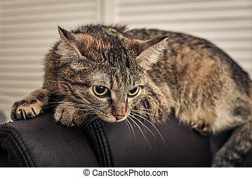 zangado, gato, mentindo