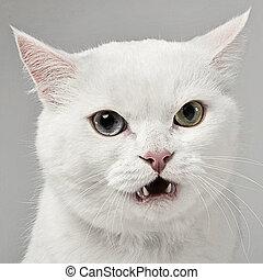 zangado, gato, olhando câmera, em, estúdio