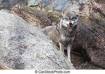 zangado, lobo