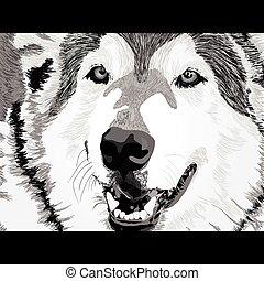 zangado, lobo, rosto