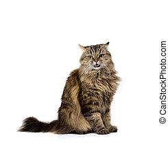 zangado, meow, gato