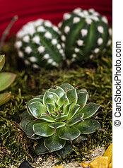 zatkać się, od, miniatura, soczysty, rośliny