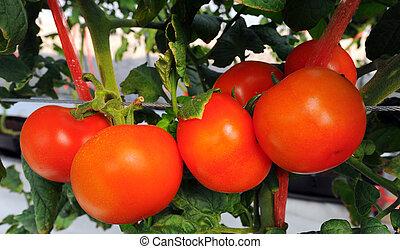 zatkać się, pomidory, świeży