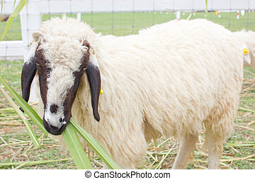 zatkać się, sheep.