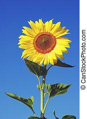 zbabělý, slunečnice