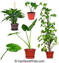 zbiór, od, różny, domowe rośliny