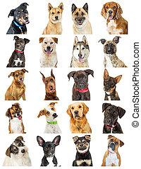 zbiór, od, szczelnie-do góry, pies, portret, fotografie