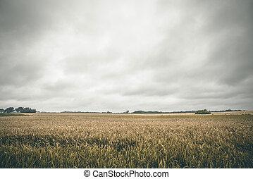 zbiory, złoty, wiejski, lato, pole
