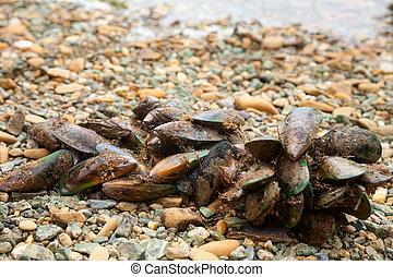 zealand, 新しい, green-lipped, ムラサキ貝