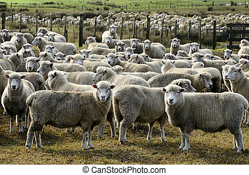 zealand, granja de las ovejas, viaje, -, nuevo