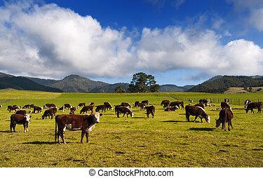 zealand, nuevo, vacas, countryside., y